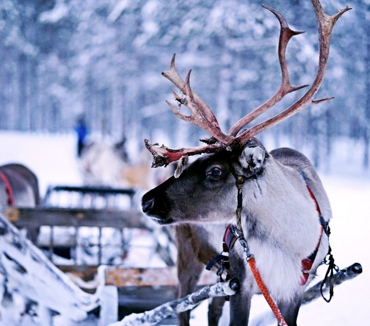 Work with animals, become a raindeer walker during Christmas